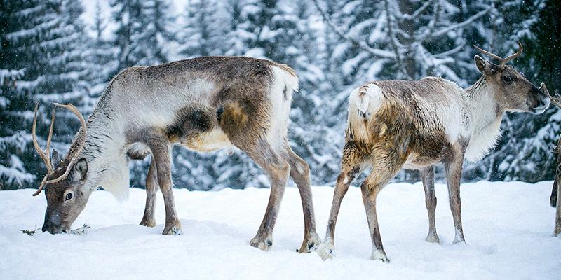 Visit the reindeer farm in Megève